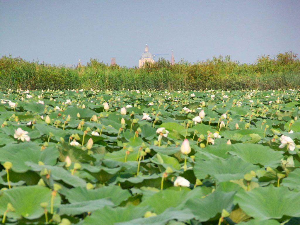 Fiori di Loto dei laghi di Mantova