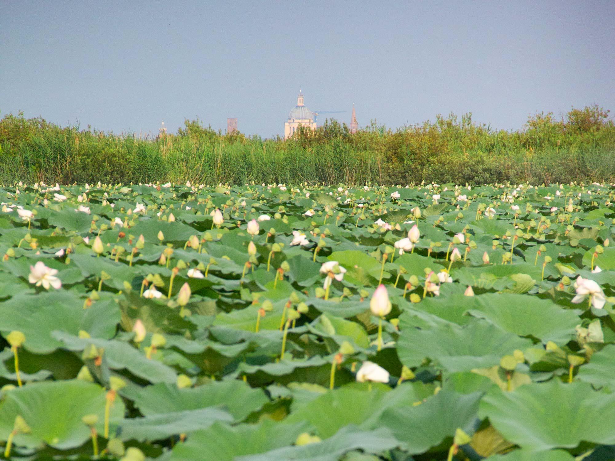 Lombardia segreta: Mantova, il Borgo di Grazie e il risveglio dei fior di loto